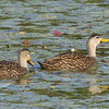 Mottled Duck, m, f