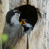 Mountain Chickadee -- Two Days Before Fledging