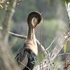 Anhinga, aka Snakebird