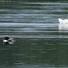 Common Loon and Trumpeter Swan