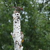 Northern Flickers, Yellow-Shafted Male