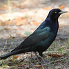 "Boat-tailed grackle male. Steep and high forehead compared to great-tailed. Voice is ""melodic"" compared to other grackles."