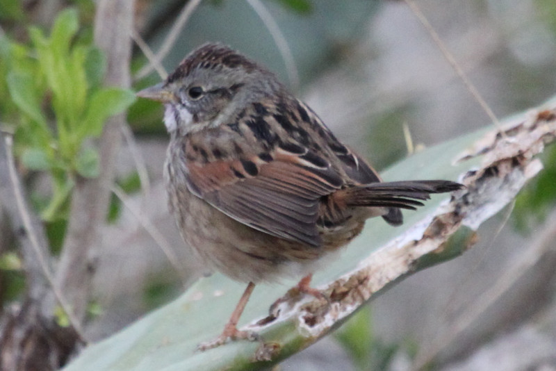 Swamp sparrow on prickly pear.