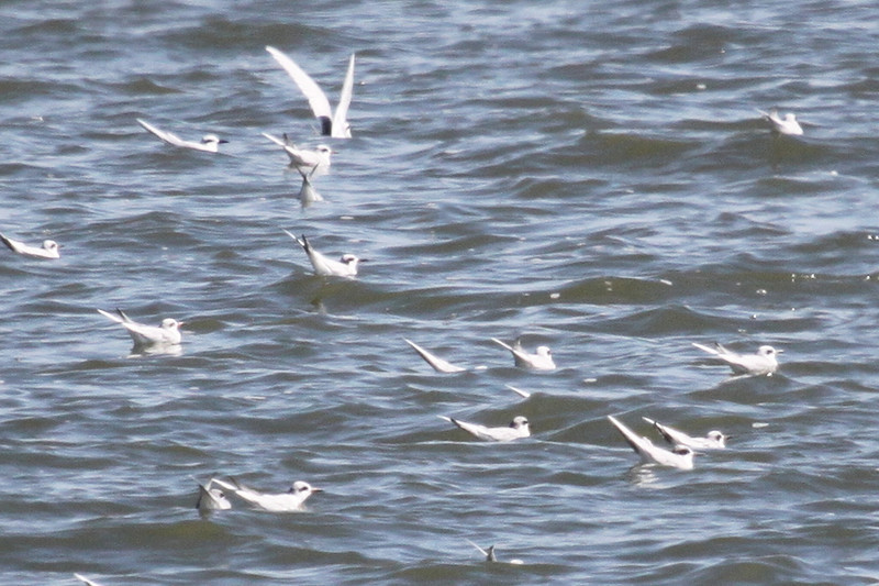 Forster's terns in a group of a hundred or so. Seen yesterday on the beach with royal terns.