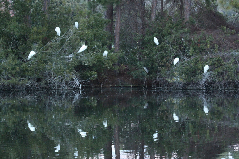 "Rookery at ""Amphitheater Pond,"" Jekyll Island. Great egrets and black-crowned night heron."