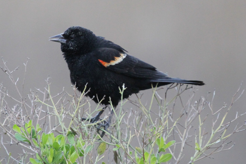 Red-winged blackbird male.