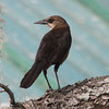 Boat-tailed grackle female. Low contrast between head and supercilium.