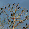 A few of the thousand double-crested cormorants at the roost.