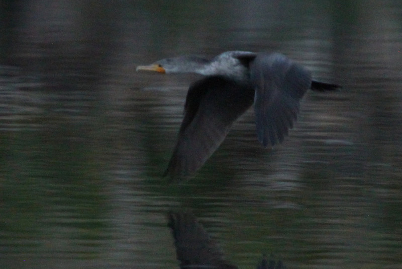 Double-crested cormorant cruising at dusk.