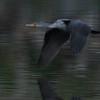 Double-crested cormorant cruising at dusk.