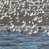Mixed shorebirds including semipalmated plover, black-bellied plover, ruddy turnstone, and sanderling.