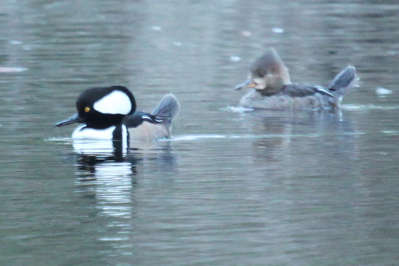One day I'll get a good photo of this good hooded merganser pair.