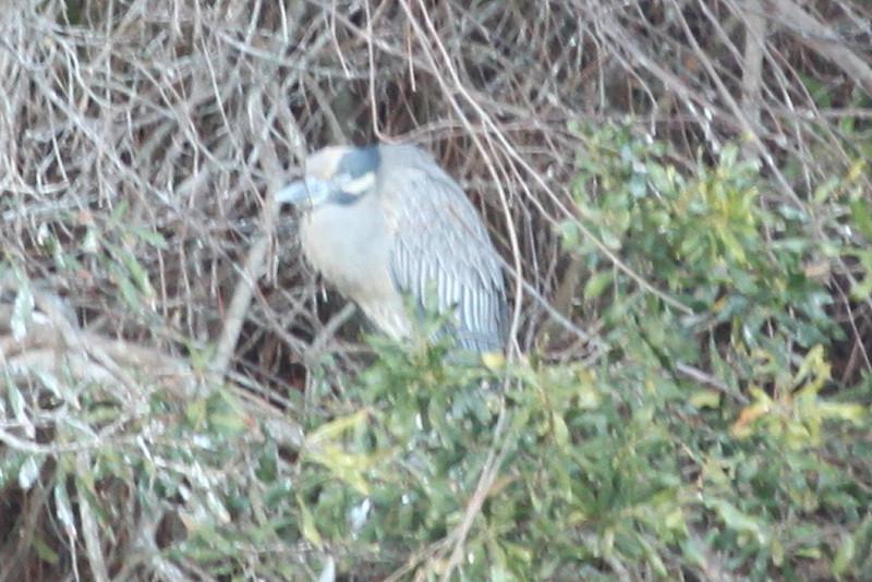 Yellow-crowned night heron waiting for night, I suppose.