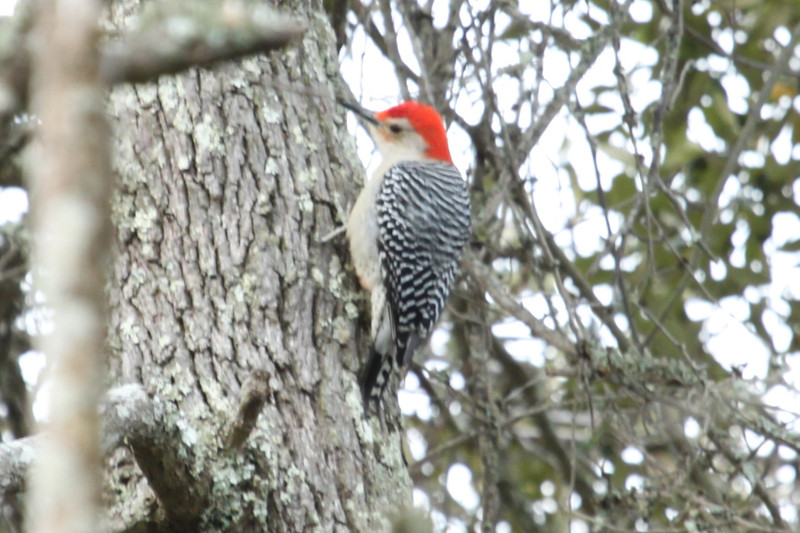 Red-bellied woodpecker, male. Jekyll Island.