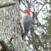Red-bellied woodpecker, male. Jekyll Island.