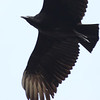 Black vulture in a chance flyover.