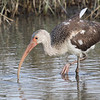White ibis in winter plumage.