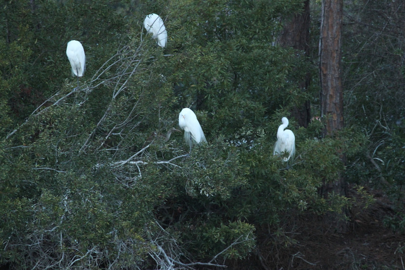 Airy plumes on the egrets. If there were white morphs of the great blue heron in the area you might find them here.
