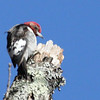 Red-headed woodpecker male in the Chatahoochee National Recreation Area near Atlanta.