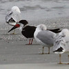 Black skimmer and ring-billed gulls