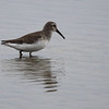 Dunlin. A small dark shorebird with a long drooping bill.
