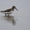 Dunlin. A small dark shorebird with a long drooping bill.