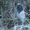 Tri-colored heron in the dusk. Black-crowned night heron with back turned directly behind tri-colored.