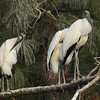 Wood storks at the roost. They were gone by dawn.
