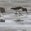 Least sandpipers. Note the yellow legs.