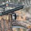 Hairy Woodpecker Feeding Below the Feeder