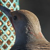 Northern Flicker Intergrade #1 (FLIN)