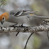 Pine Grosbeak, f.