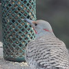 Northern Flicker Intergrade #2 (FLIN)
