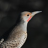 Northern Flicker Enjoying Early Sun