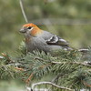 Pine Grosbeak f.