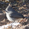 Juniper titmouse on Kwage Mesa trail 2-27-2013.