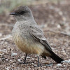 Say's phoebe cf. next photo of mountain bluebird