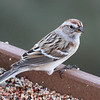 American tree sparrow on Barranca Mesa. Uncommon to rare here.