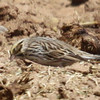 Savannah sparrow, photo 2 of 3 at Los Alamos stables 4-11-13