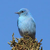 Mountain bluebird @ maintenance lagoons