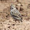 Savannah sparrow, photo 3 of 3 at Los Alamos stables 4-11-13