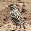 Savannah sparrow, photo 1 of 3 at Los Alamos stables 4-11-13