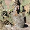Long-eared fuzzbird