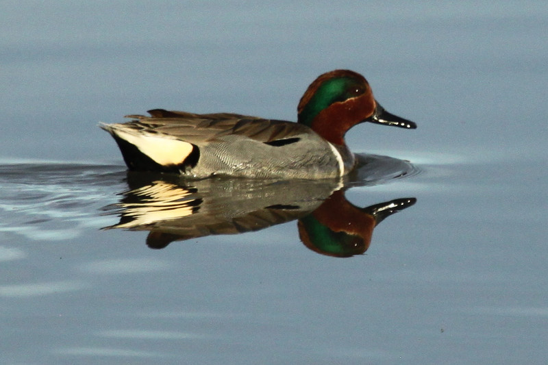 Green-winged teal, male