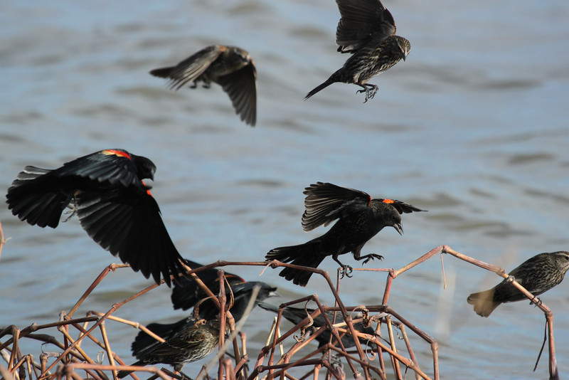Red-winged blackbirds, m + f