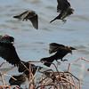 Red-winged blackbirds, m + f