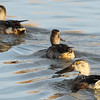 Northern shoveler, females