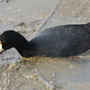 Coot in muck. Bill and shield.