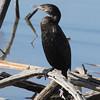 Neotropic Cormorant
