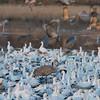 Lesser Sandhill Crane Among Snow/Ross' Geese
